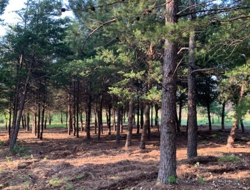 Wooded Pine park area